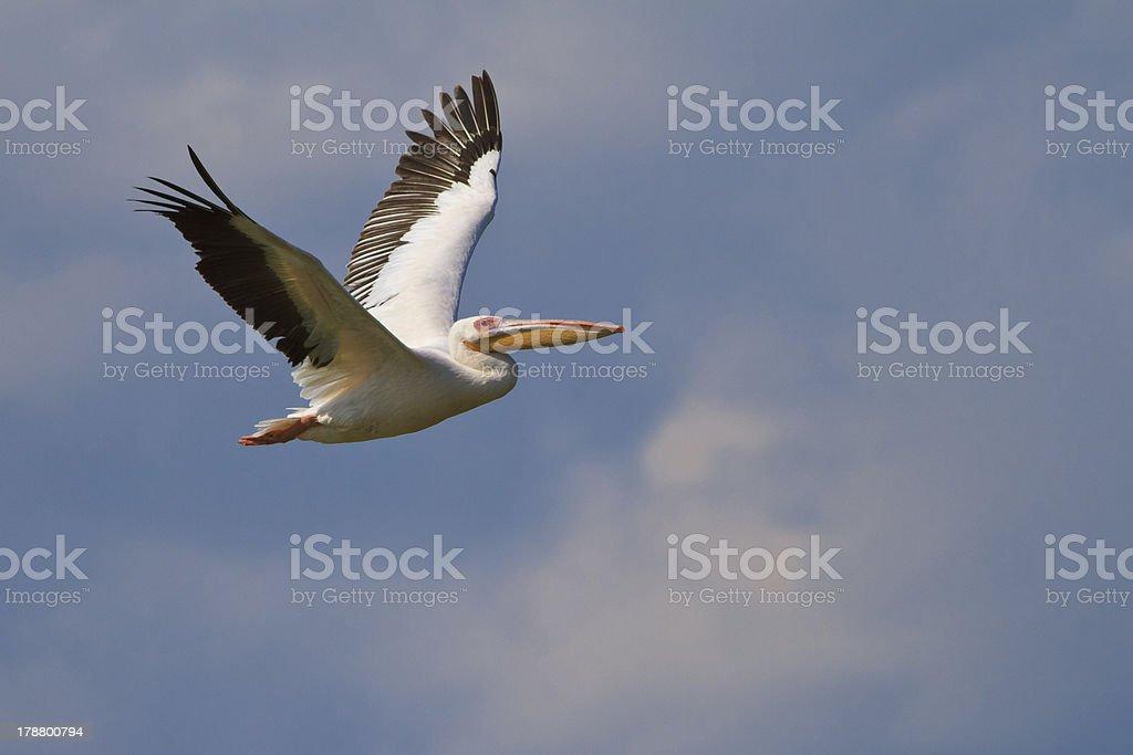 white pelican (pelecanus onocrotalus) royalty-free stock photo