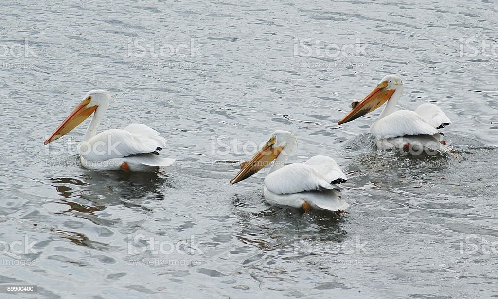 white pelican royalty-free stock photo
