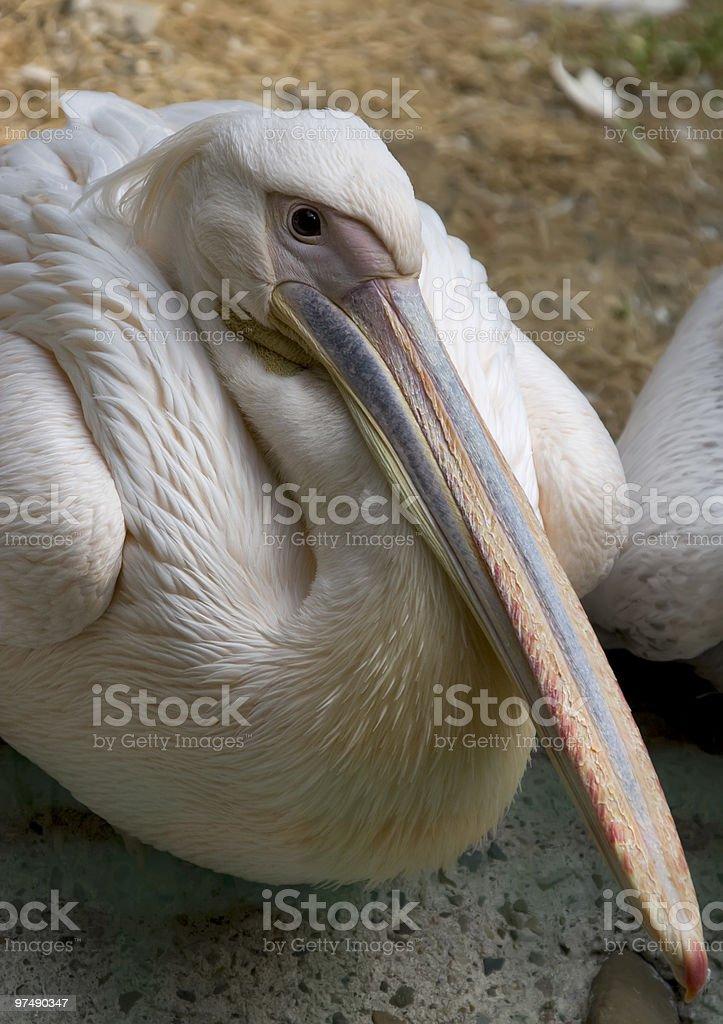 White Pelican royalty-free stock photo