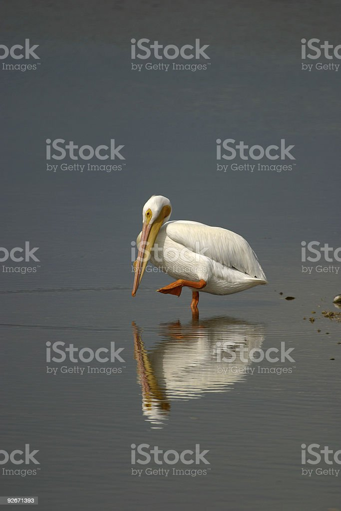 White Pelican Reflection royalty-free stock photo
