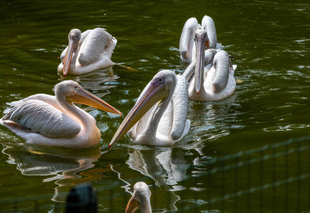 White Pelicans birds in a pond on a sunny day stock photo