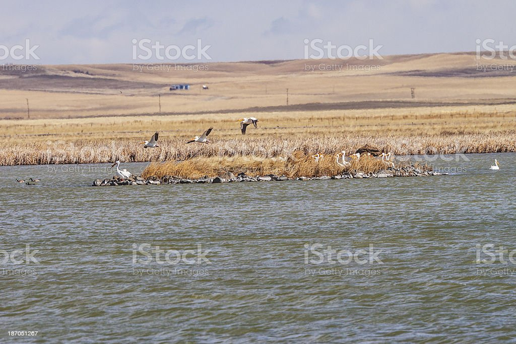 White Pelicans flying from island stock photo