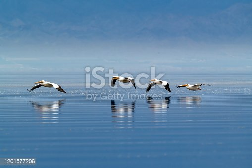 American White Pelican (Pelecanus erythrorhynchos) flying in formation low over the Salton Sea in Imperial County, southern California.