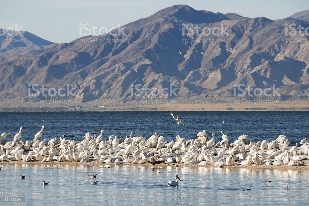 White pelicans on sandbar in Salton Sea stock photo