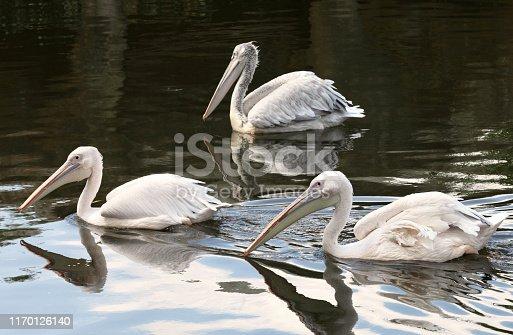 White Pelicans swim on lake.