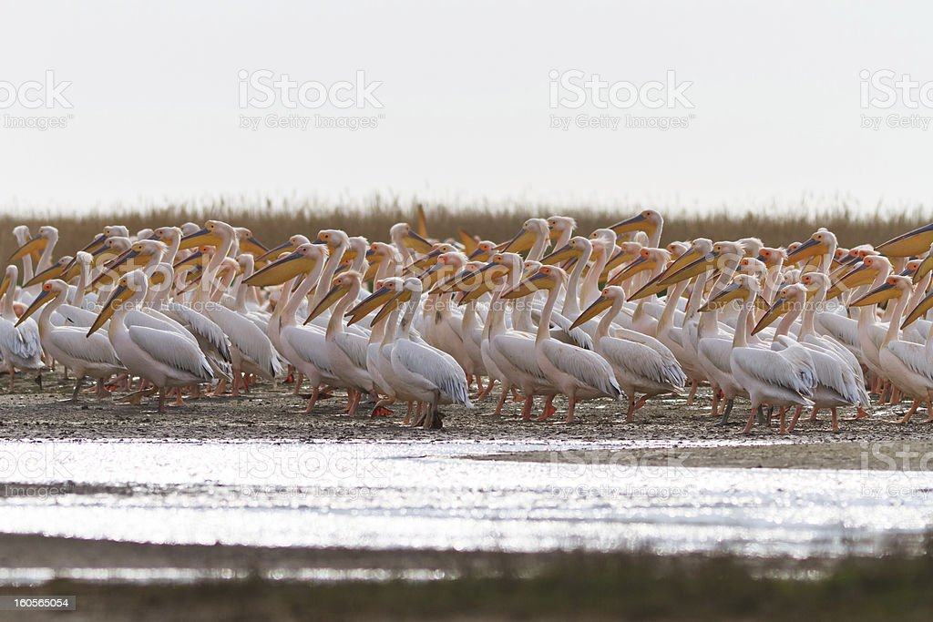 white pelicans royalty-free stock photo