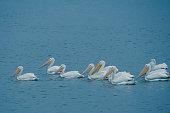 White Pelicans Swimming in the Rain