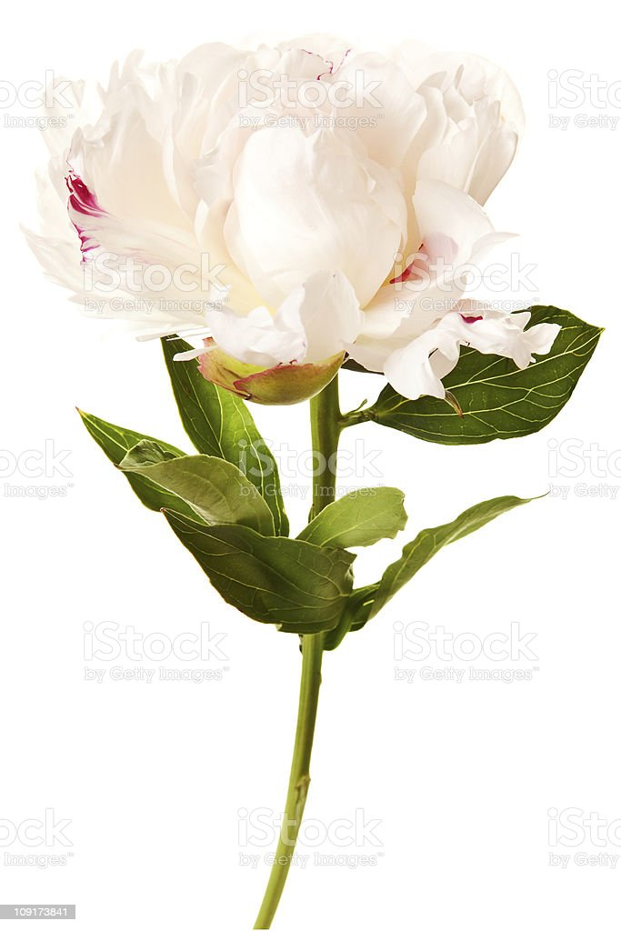 White peony blossom in bloom isolated on a white background royalty-free stock photo