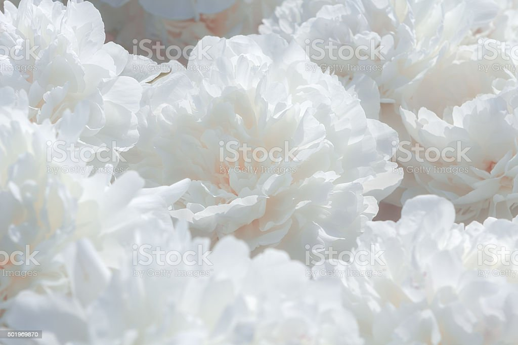 White peony flower background stock photo