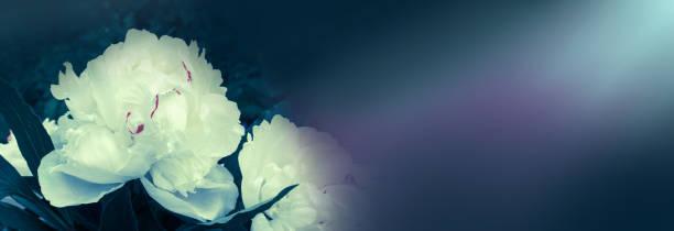 weiße pfingstrose blüte banner - pfingstrosen pflege stock-fotos und bilder