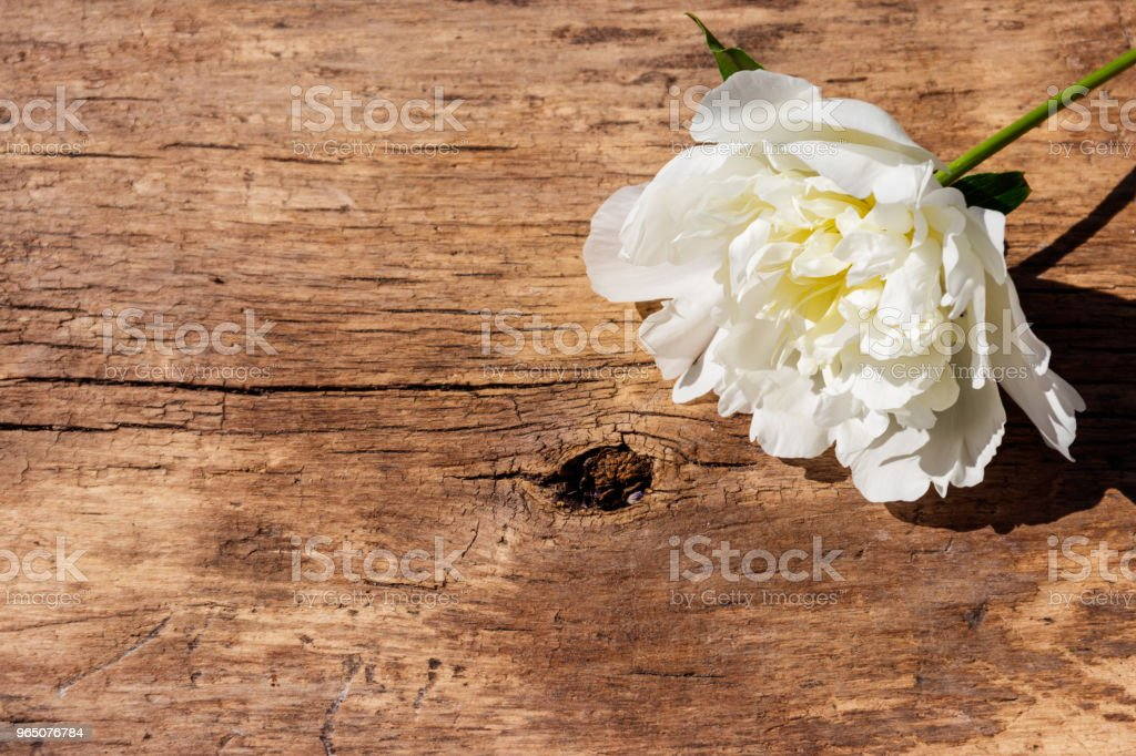 White peony flower on rustic wooden background. Copy space zbiór zdjęć royalty-free