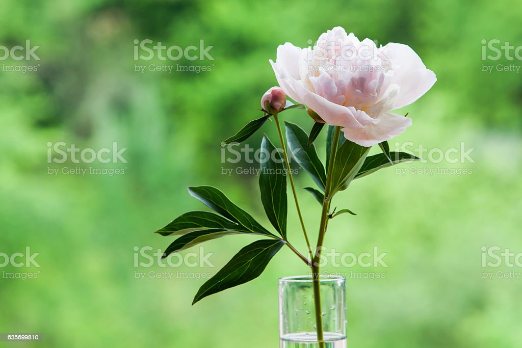White peony in a glass vase. royalty-free stock photo