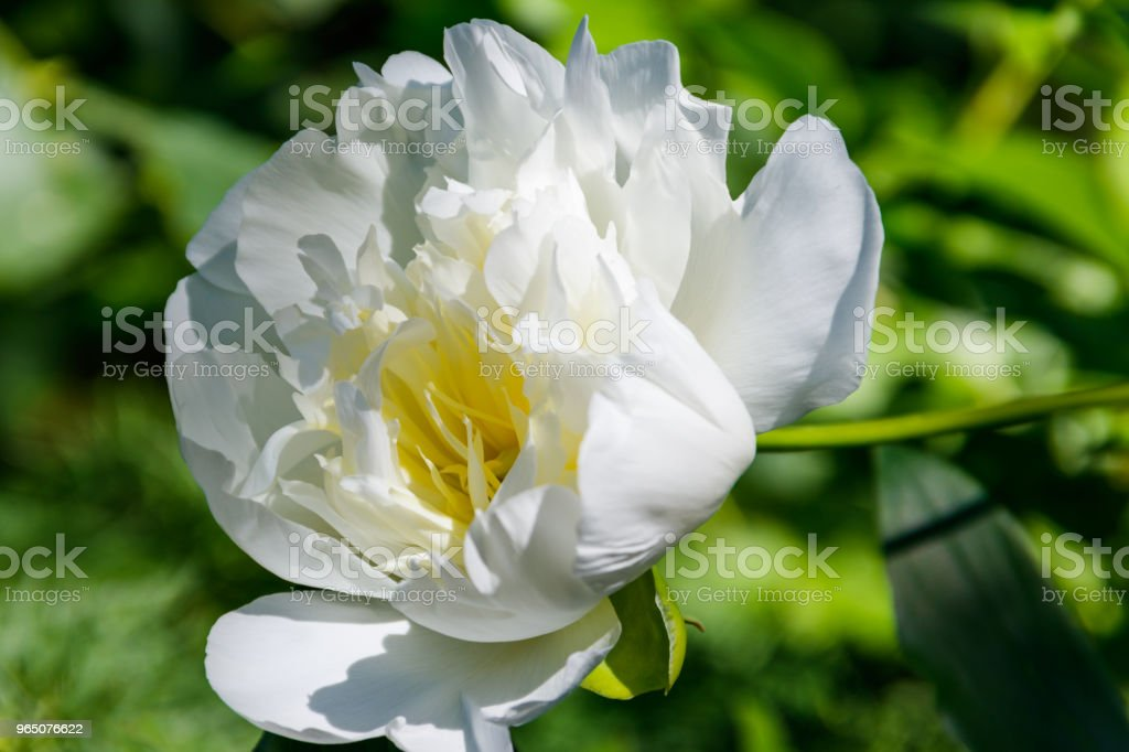 White peony in the garden royalty-free stock photo