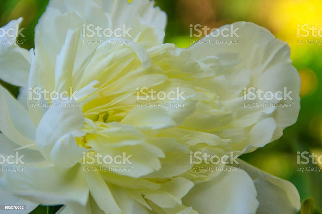 White peony in the garden zbiór zdjęć royalty-free
