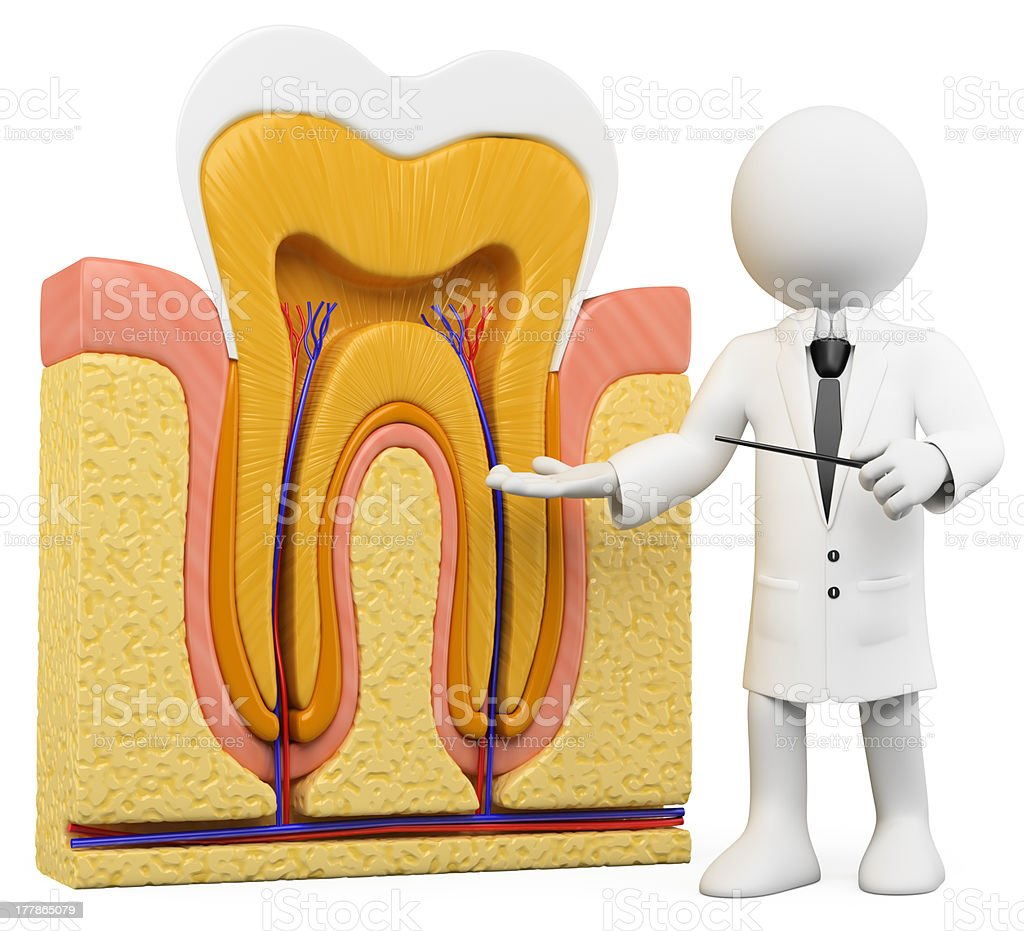 3D white people. Dentist with tooth section royalty-free stock photo