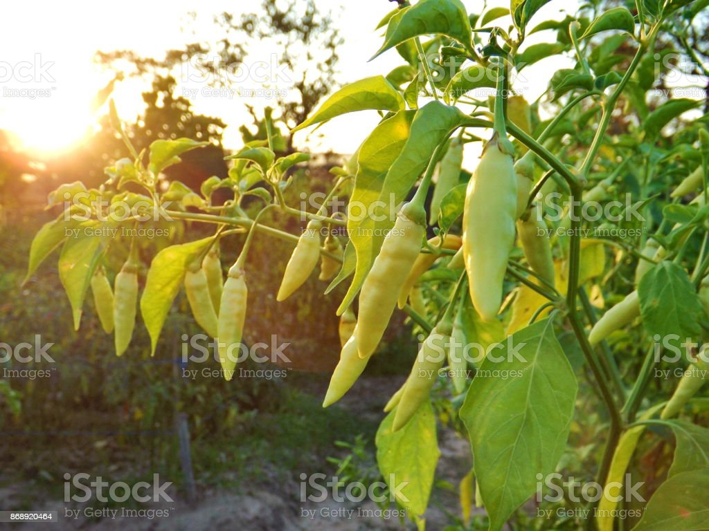 White pepper on blurry green nature background with suset stock photo