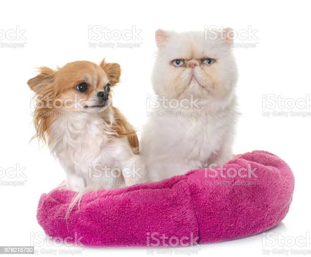 White persian cat and chihuahua picture id978215730?b=1&k=6&m=978215730&s=612x612&h=5fljucvhb85x719rdvb0araowhxttdkpbonxfy8ep7a=