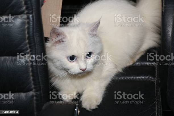 White persian cat is climbing the top of black leather chair picture id840143034?b=1&k=6&m=840143034&s=612x612&h=dxiwg cbpzirbx0q1tunudfr6qrzdtytkorpvmtsegy=