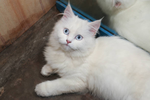 White persian cat is looking at something above with curiousity picture id866603372?b=1&k=6&m=866603372&s=612x612&w=0&h=pg20nb2zg3nlep0uunhqzwwv46vlcfqvhczv11dnz3a=
