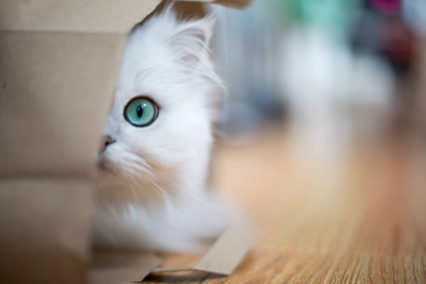 White Persian cat White Persian cat hidden in a paper bag undomesticated cat stock pictures, royalty-free photos & images