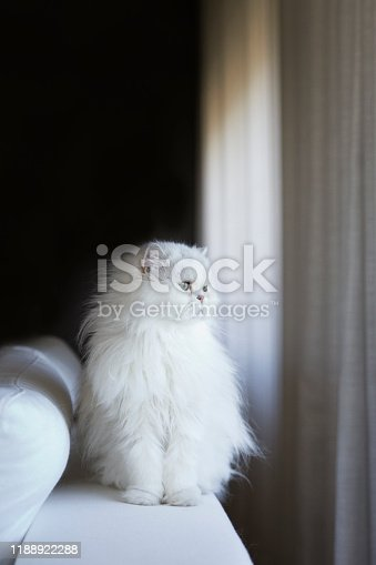 White persian cat looking away