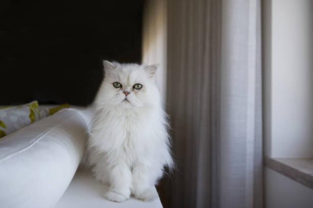White persian cat picture id1188922309?b=1&k=6&m=1188922309&s=612x612&w=0&h=fr9umd8n2dc1i0mlahiq0c vhwczrcy3u3z0svailxg=