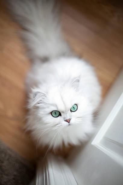 White persian cat picture id1195782943?b=1&k=6&m=1195782943&s=612x612&w=0&h=k9il4lqljw2reaxxck8y3x1sqyhmoriqtbh n88zkku=