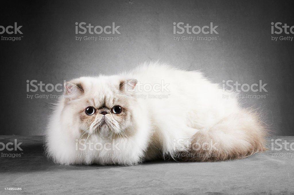 White persian cat royalty-free stock photo