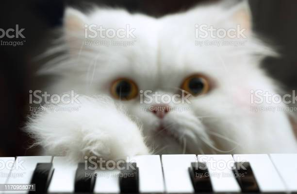 White persian cat plays the piano picture id1170958071?b=1&k=6&m=1170958071&s=612x612&h=cgywiaslgufc wlgzvsut1nplcmhw3mgvocywrrp1cy=