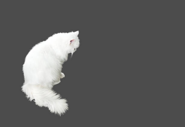 White persian cat sitting on gray background clipping path picture id865264722?b=1&k=6&m=865264722&s=612x612&w=0&h=h4 6vpeq unu0tnlla 5h6 qzmituadnykthl99uxty=