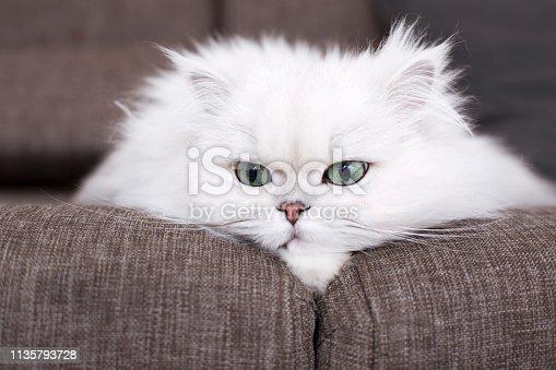 Persian Cat, White Color, Undomesticated Cat, Sitting, Animal