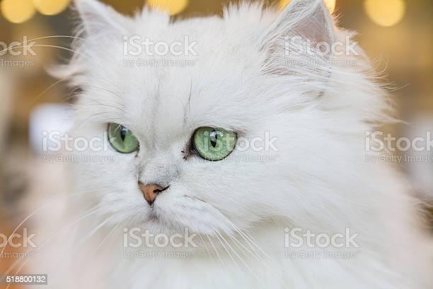 White persian cats picture id518800132?b=1&k=6&m=518800132&s=612x612&h=byucw1ksgpday vdm jrpkgkdhk2mtlmw7pa4zp24se=