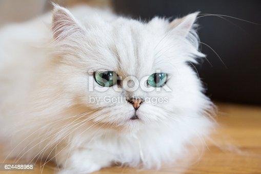 Beautiful White Persian cats