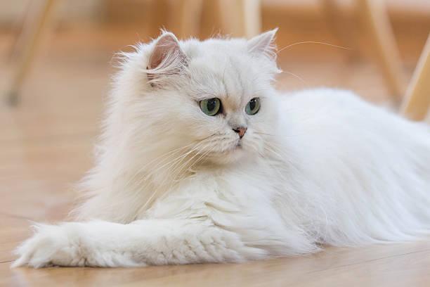 White persian cats picture id633114008?b=1&k=6&m=633114008&s=612x612&w=0&h=zuiax9rzq71safgsyfy9zkcd6nrq6m8px0mqo i1z q=