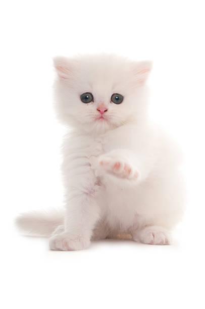 White persian kitten picture id478939793?b=1&k=6&m=478939793&s=612x612&w=0&h=x9mwt6h7alxf4q hdw3cxzepac5f7ugfb7w7boah0sm=