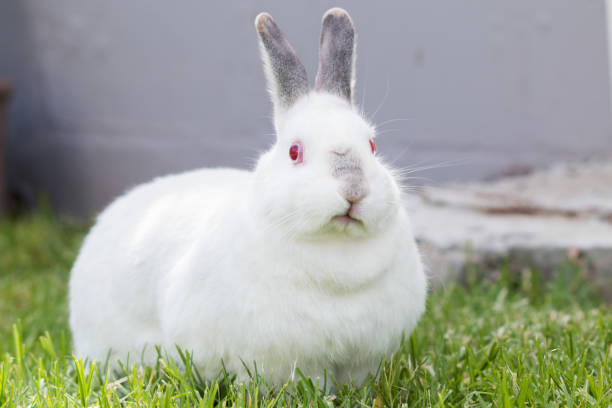 White pet rabbit with grey ears and nose grazing outdoors facing the camera stock photo