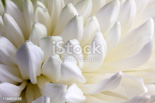 White petals of chrysanthemum. Closeup
