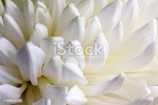 White petals of chrysanthemum. Closeup