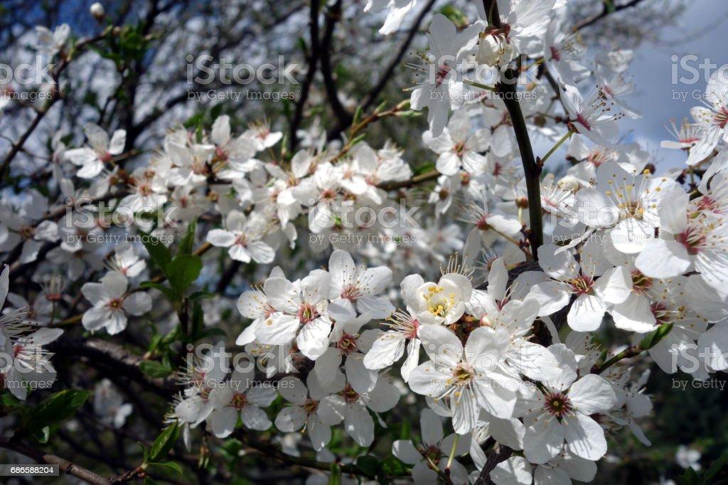 White petals on apple tree, spring royalty-free stock photo