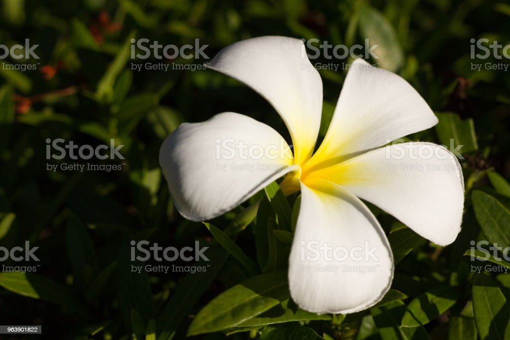 White petals with yellow bloom - Royalty-free Backgrounds Stock Photo