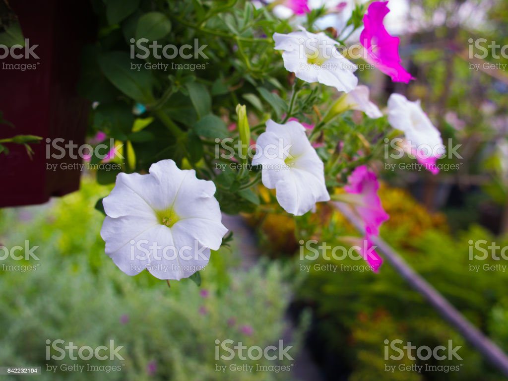 White Petunia Flowers Hanging Stock Photo More Pictures Of