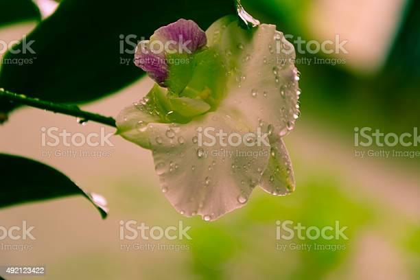 White phalaenopsis orchid from thailand orchids picture id492123422?b=1&k=6&m=492123422&s=612x612&h=bieikignw zkuixviz8uzky59iyp4wczcarha0hnn5u=