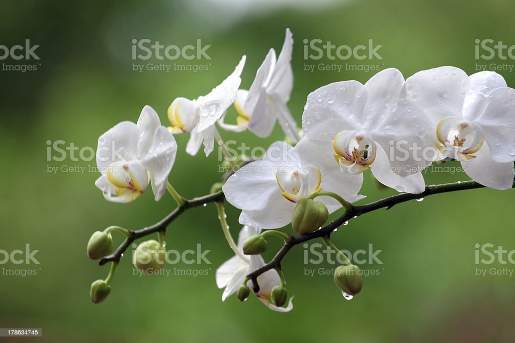 White Phalaenopsis orchid from Thailand royalty-free stock photo