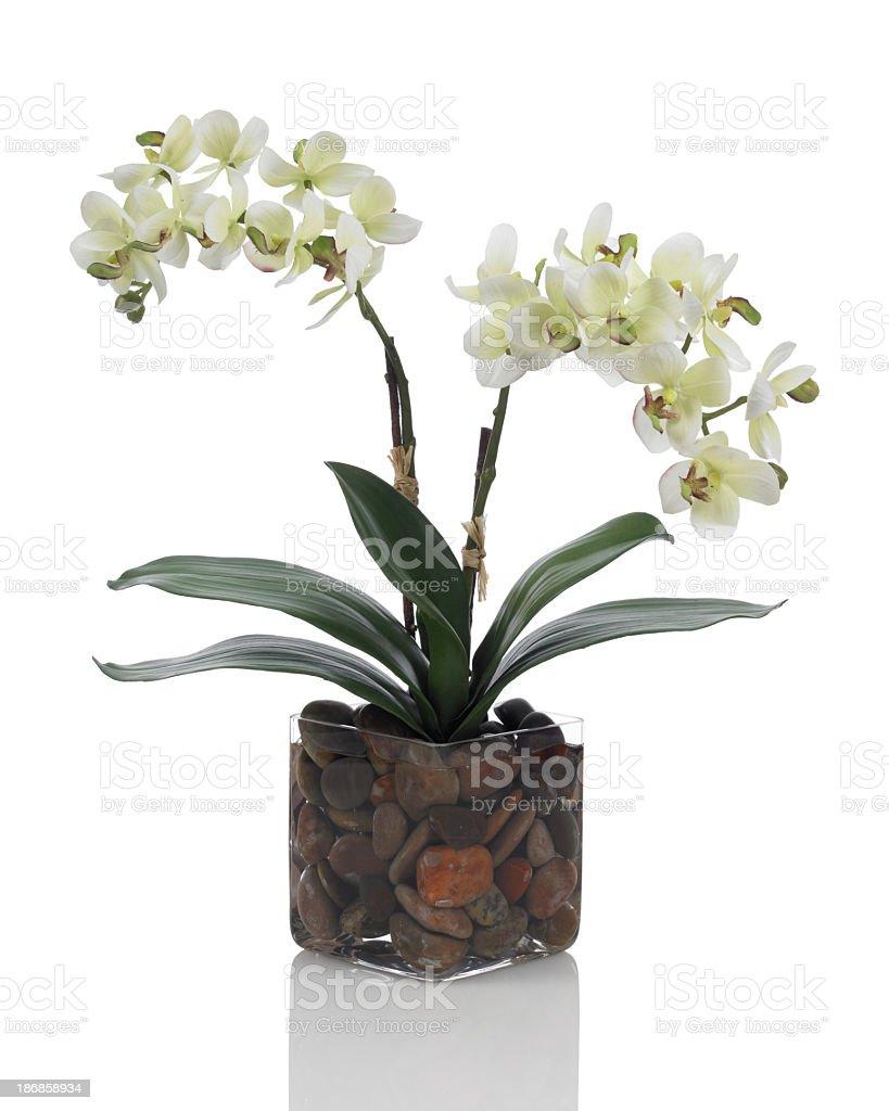White phalaenopsis orchid on white background stock photo