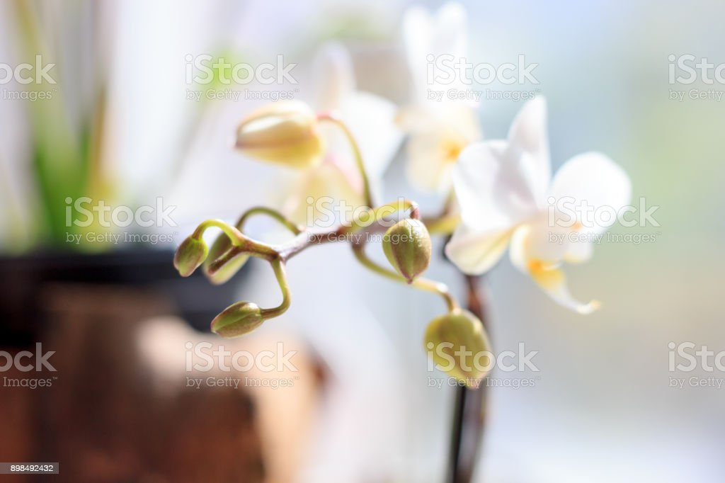 White Phalaenopsis orchid on window as home plant. stock photo