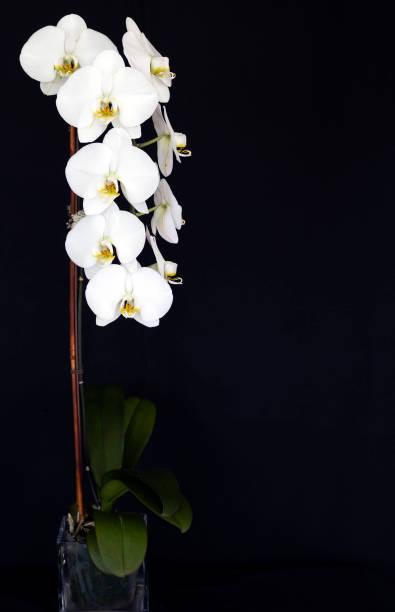 White Phalaenopsis stock photo
