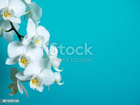 White phaleanopsis orchid on blue background with copy space