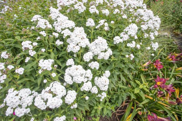 Weiße phlox paniculata Blumen, Knightshayes Gericht Land Haus – Foto
