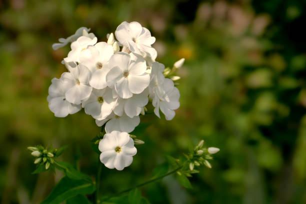 White Phlox - Phlox paniculata - Flameflower stock photo