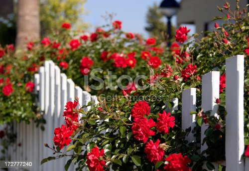 Red roses spill over a white picket frence
